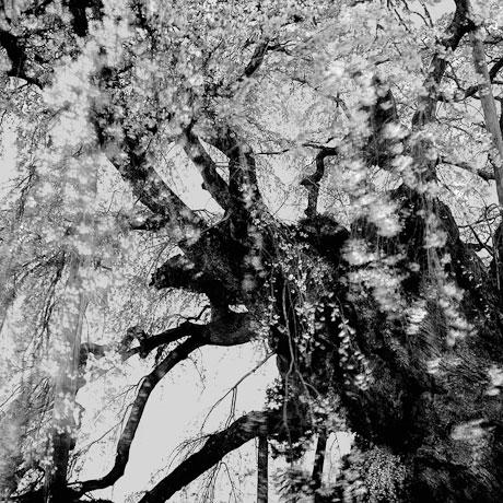 Toshio Enomoto: Takizakura, Over a thousand and a few years old, Miharu Fukushima (1998), Gelatin Silver, 25x25 cm