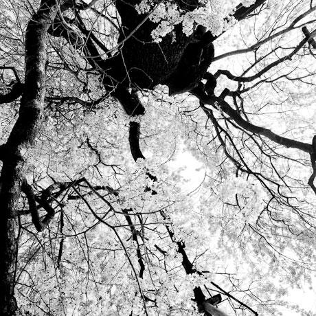 Toshio Enomoto: Edo-Higan, Cherry blossoms in Eisanji, Sukagawa (2004), Gelatin Silver, 25x25 cm